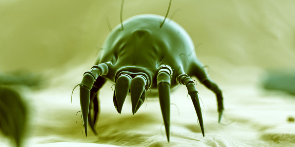 what does a dust mite look like