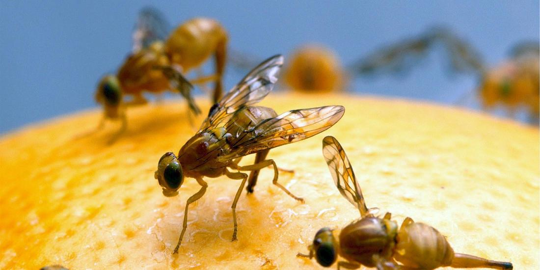 drain flies vs fruit flies
