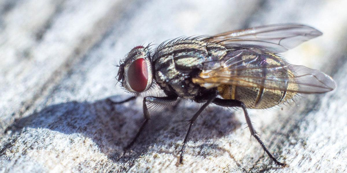 types of flies in the UK