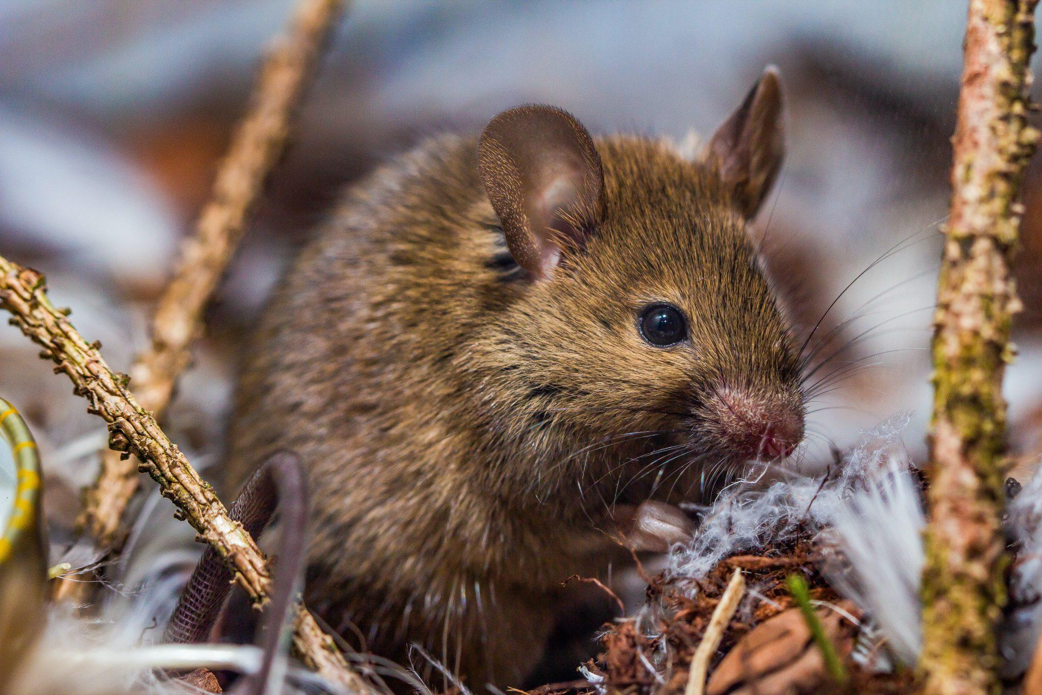 signs of rate and mice infestation